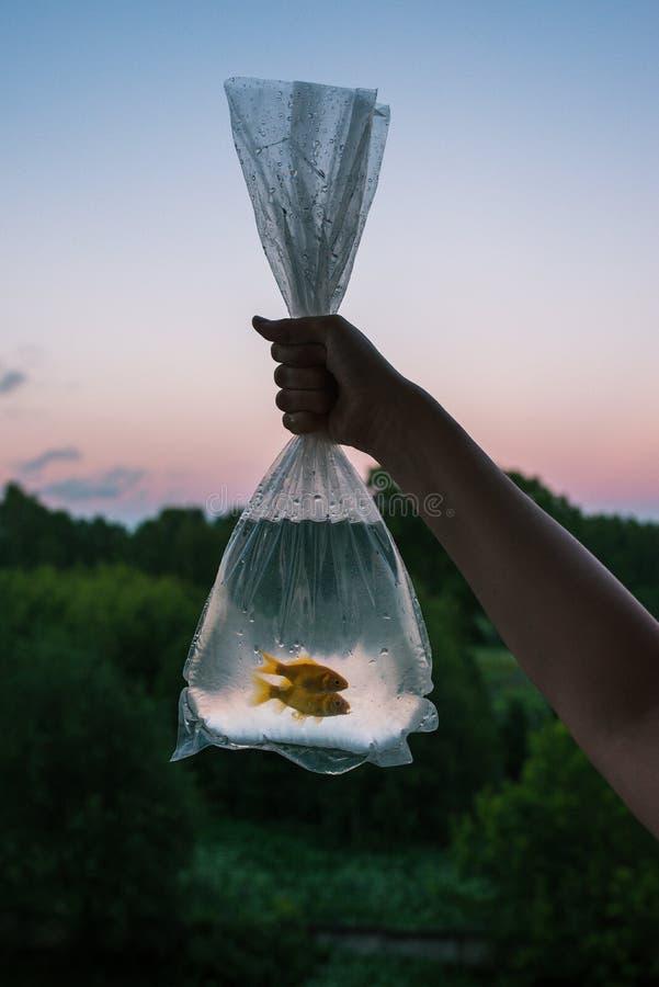 Уловленные рыбы установили в пакете 2 золотых рыбы в руках женщины Прозрачная сумка с рыбами на предпосылке стоковые изображения rf