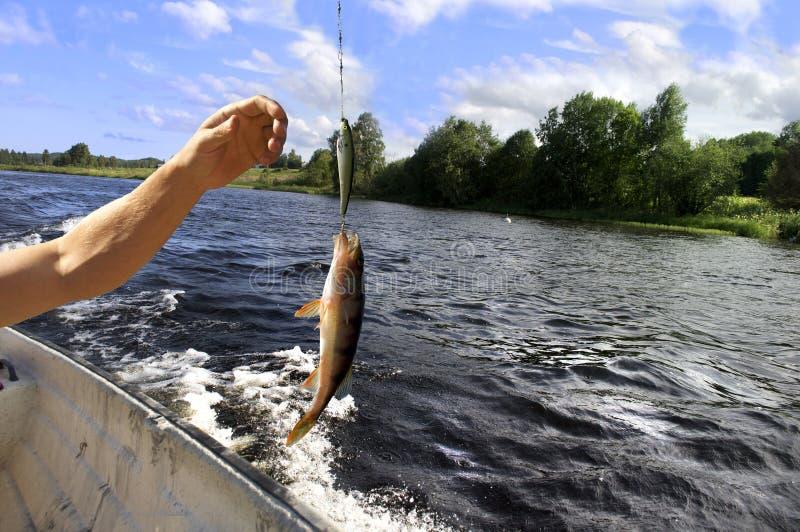 уловленные рыбы стоковое изображение rf