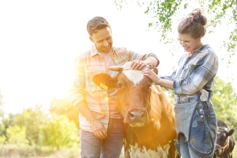 Улыбающийся мужчина и женщина, стоящая с коровой на ферме, и желтая линза вспыхивают на заднем плане стоковая фотография rf