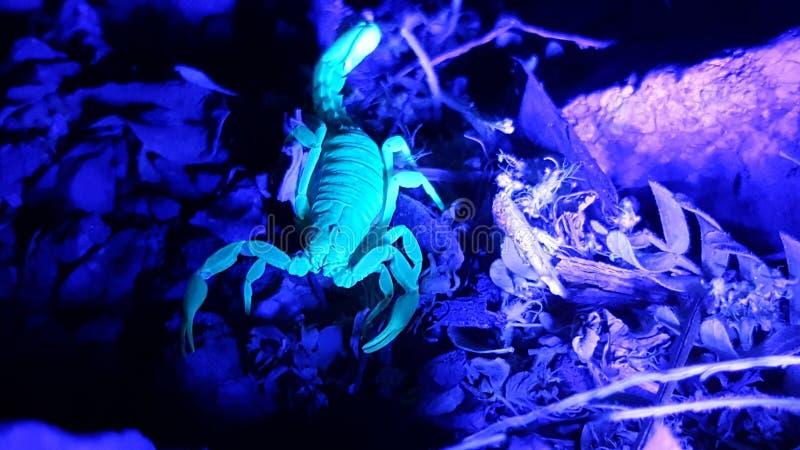 УЛЬТРАФИОЛЕТОВЫЙ скорпион охотясь вечером на утесах 4 стоковая фотография rf