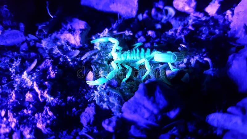 УЛЬТРАФИОЛЕТОВЫЙ скорпион охотясь вечером на Rocks2 стоковые фотографии rf