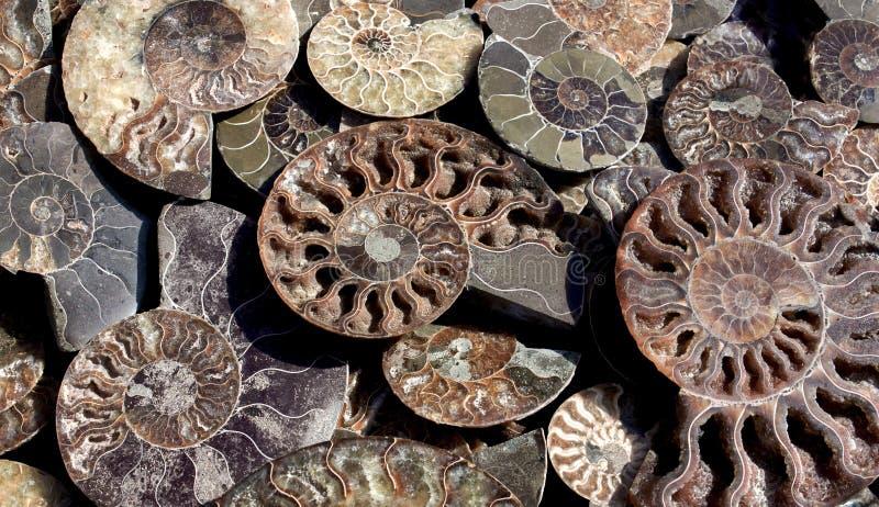 Умерли-вне Ammonoidea, предпосылка отполированной половины окаменелых раковин, ископаемых аммонитов стоковая фотография rf