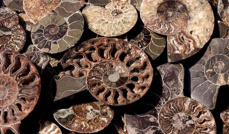 Умерли-вне Ammonoidea, предпосылка отполированной половины окаменелых раковин, ископаемых аммонитов стоковое фото rf