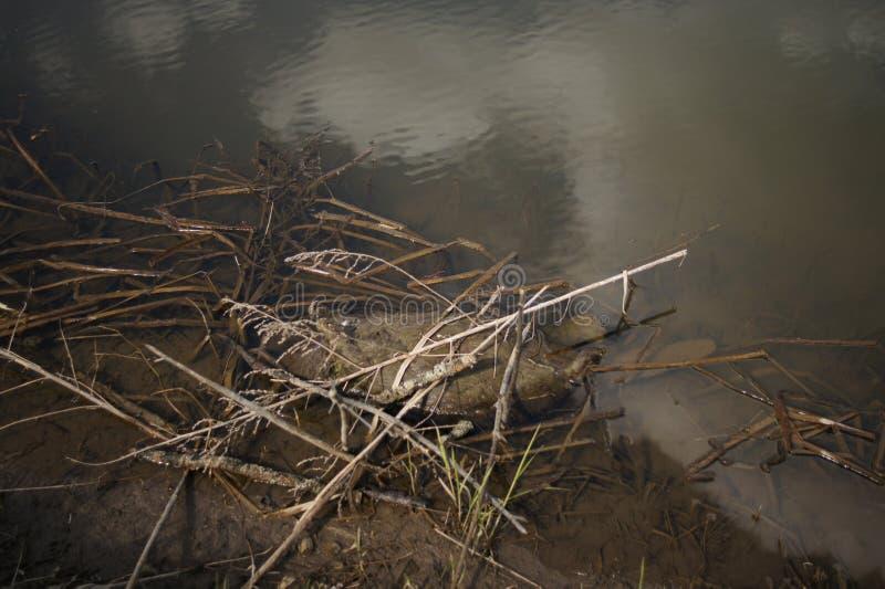 Умершие бобра на речном береге Труп животного в природе Экологическая катастрофичность стоковое фото rf