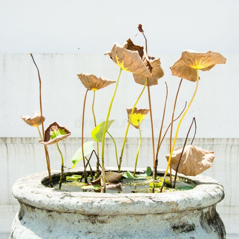 Download Умирая лотос стоковое фото. изображение насчитывающей flourish - 41654482