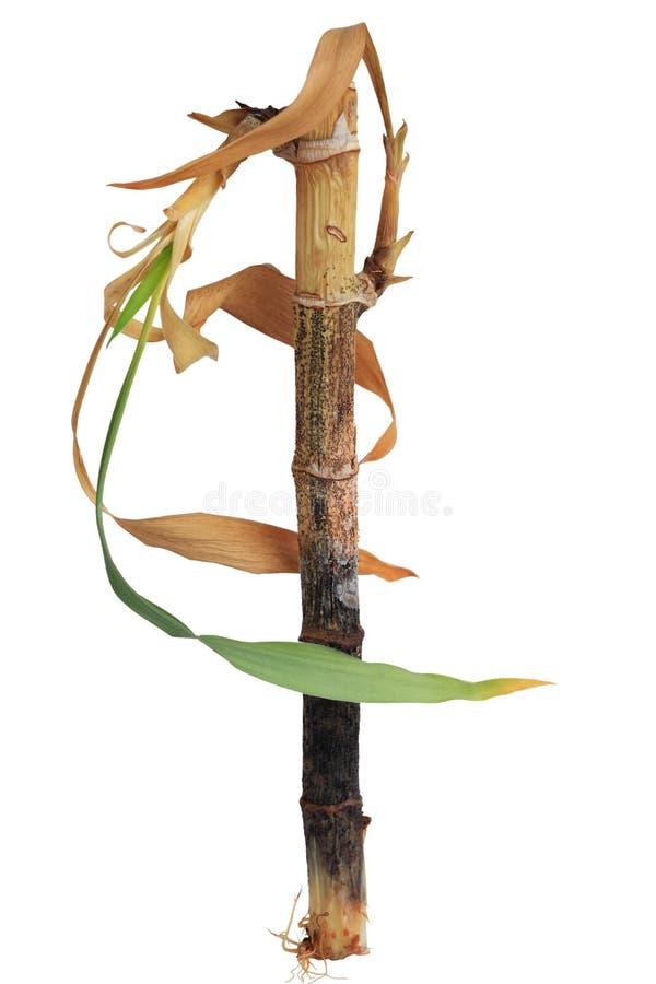 Умирая удачливый бамбук стоковое изображение rf