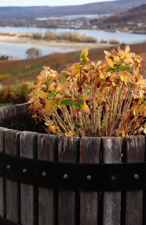 Умирая цветки в бочонке около Рейна в Германии стоковое изображение rf