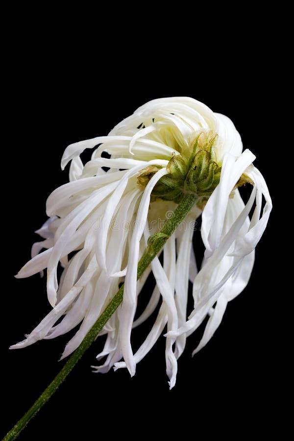 умирая цветок стоковое изображение rf