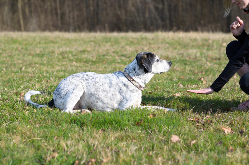 Умная собака уча команду пребывания стоковое фото