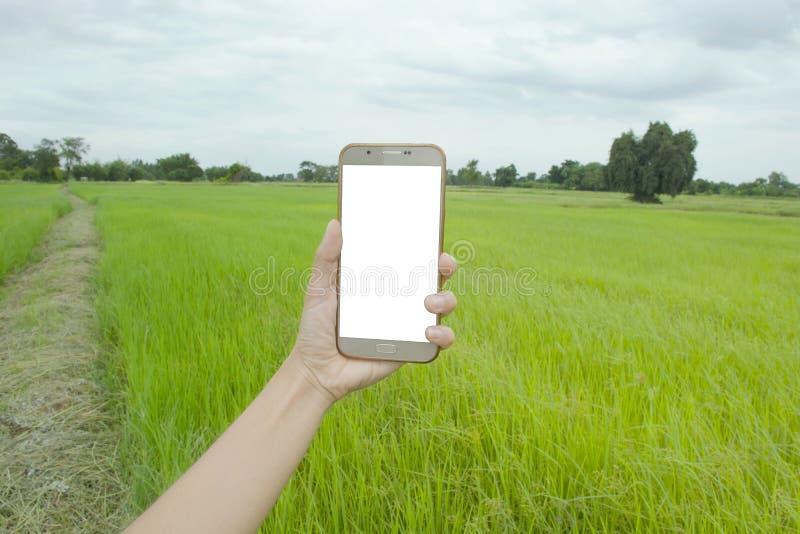 Умный телефон в руке с полем риса стоковая фотография