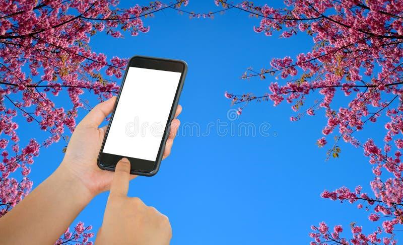 Умный телефон на предпосылке тигра ферзя Сакуры или цветка стоковое фото