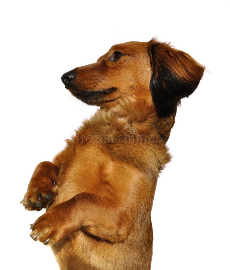 умолять красному цвету dachshund с волосами длиннему стоковая фотография rf