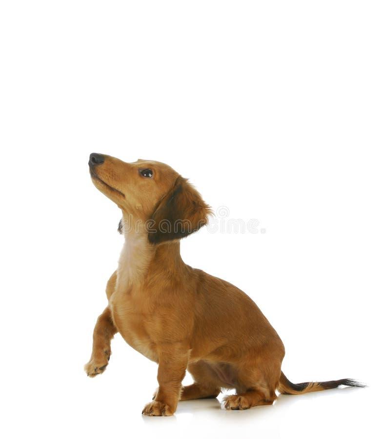 Умолять собаки стоковые изображения rf