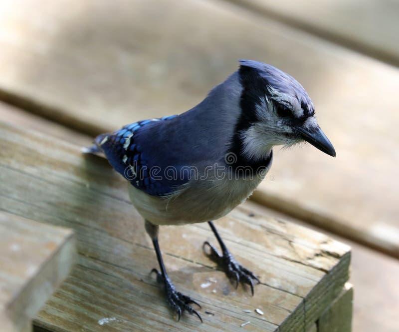 Уникально красочная голубая птица Джэй красивая в Мичигане стоковая фотография rf