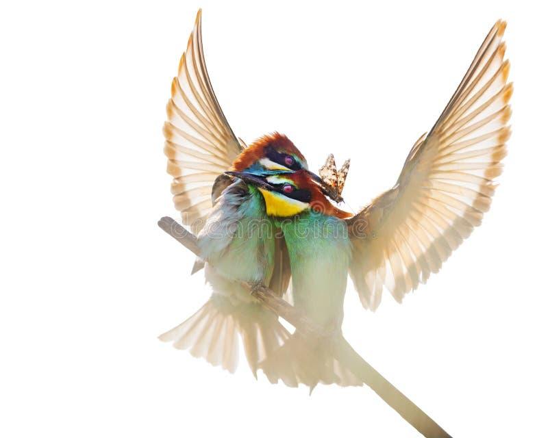 Уникальные пары покрашенных птиц с красиво распространенными крыльями стоковые фото
