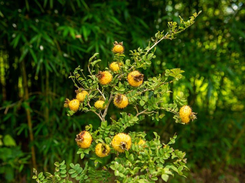 Уникальный плод плато Юньнань-Гуйчжоу - колючей груши стоковое изображение