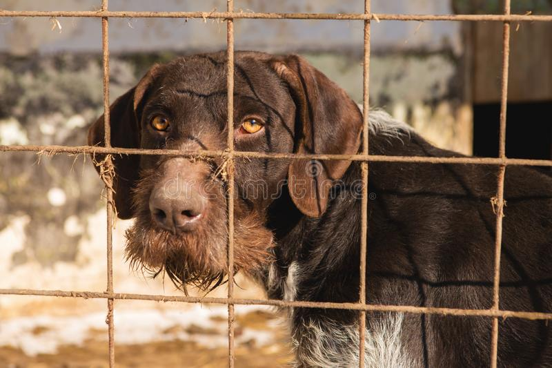 Унылая собака за барами, охотничья собака с унылыми глазами стоковое изображение