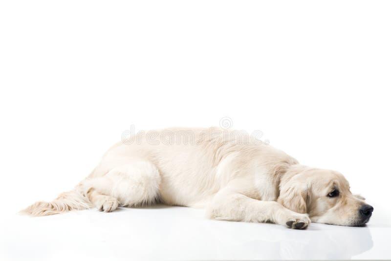 Унылая собака золотистого retriever стоковые изображения rf