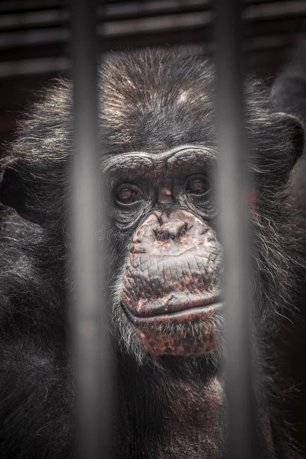 Унылый взгляд молодого шимпанзе стоковые изображения rf