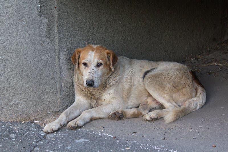Download Унылая бездомная собака лежа на мостоваой Стоковое Фото - изображение насчитывающей бездомно, шрамы: 81802324