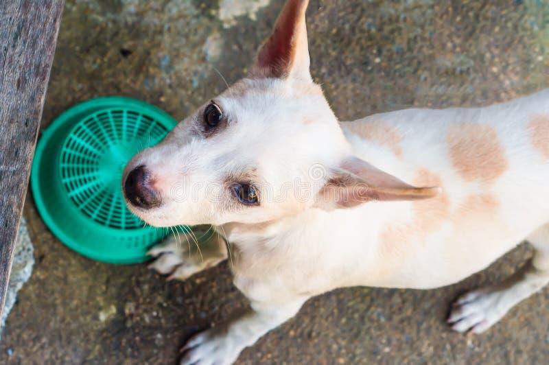 Унылая маленькая собака, тайская собака стоковое фото rf