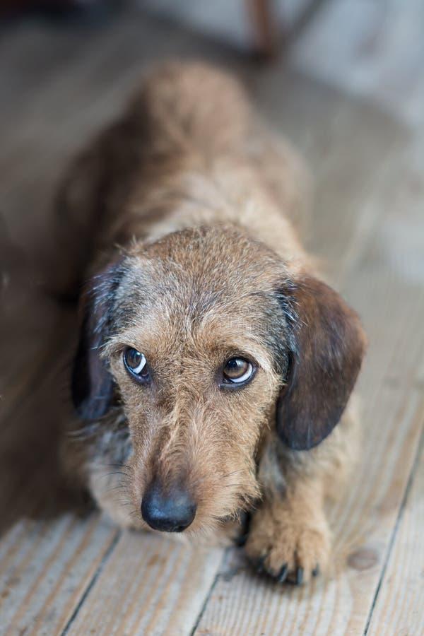 Унылые глаза на милой собаке стоковая фотография