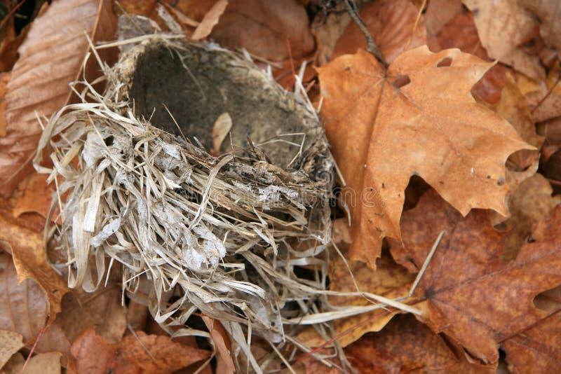 упаденная птица покидает гнездй клена стоковые изображения