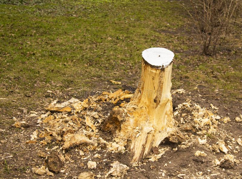 Упаденное дерево, пень, обмылок дерева, валить дерева стоковые изображения rf