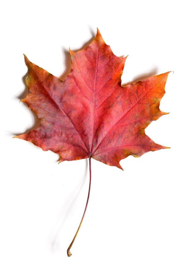 Упаденное осенью разрешение клена стоковое изображение
