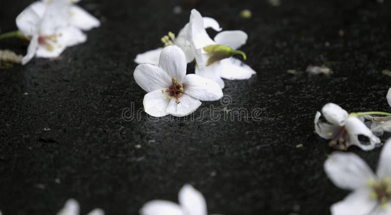 Упаденные белые цветки в тысяче парках острова озера в Тайбэе стоковое изображение