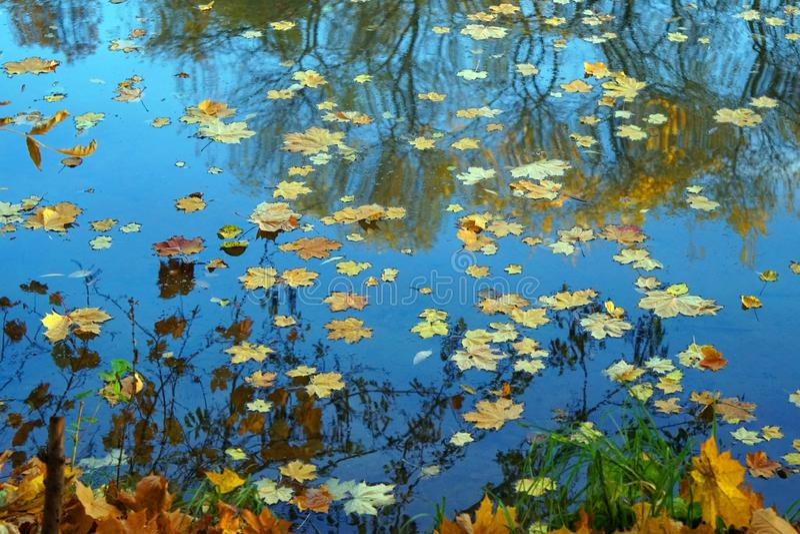 Упаденные кленовые листы на поверхности воды Знаки золотой осени стоковое изображение rf