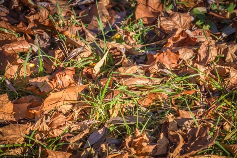 Упаденные листья в конце зеленой травы вверх стоковые фото