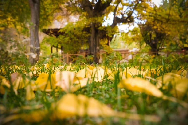 Упаденные листья желтого тополя стоковые фото