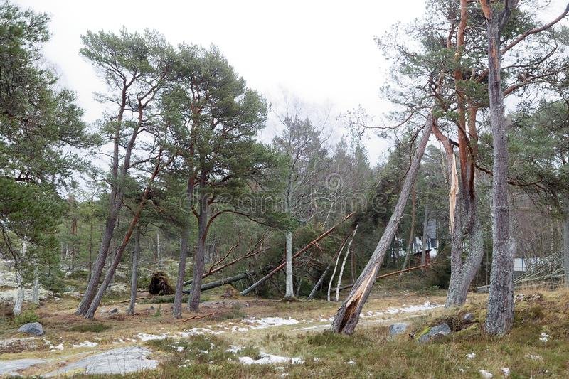 Упаденные сосны после ужасного шторма Alfrida в Швеции стоковое фото rf