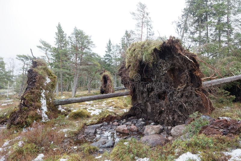 Упаденные сосны после ужасного шторма Alfrida в Швеции стоковые фото