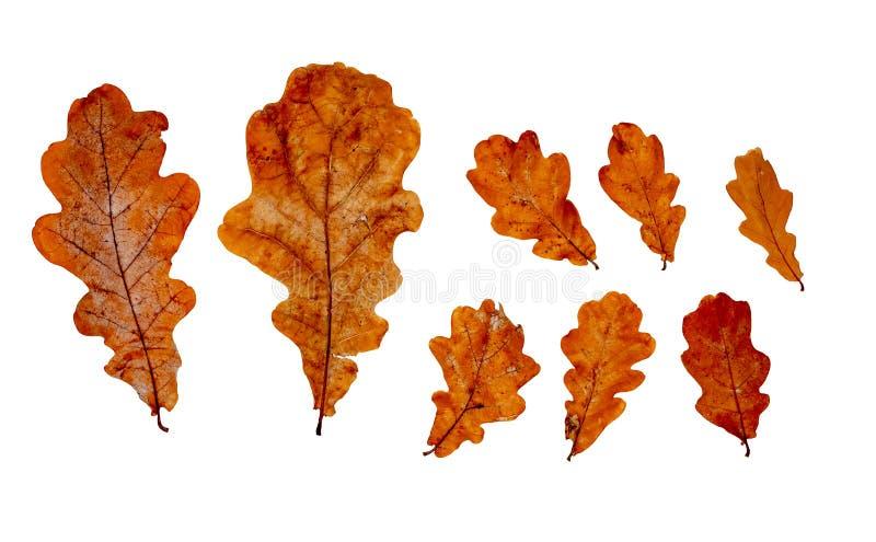 Упаденные сухие листья дуба Набор дизайна стоковые изображения