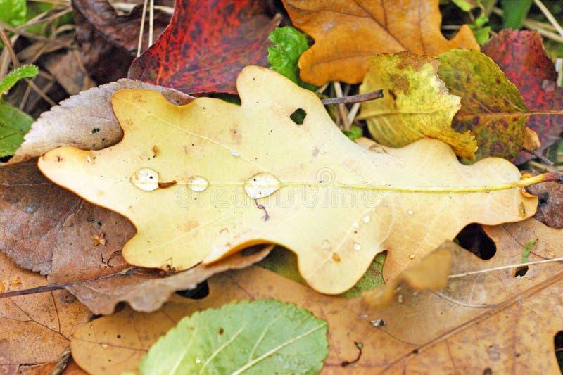 Упаденные сухие лист дуба осени с падениями росы или дождя стоковая фотография rf
