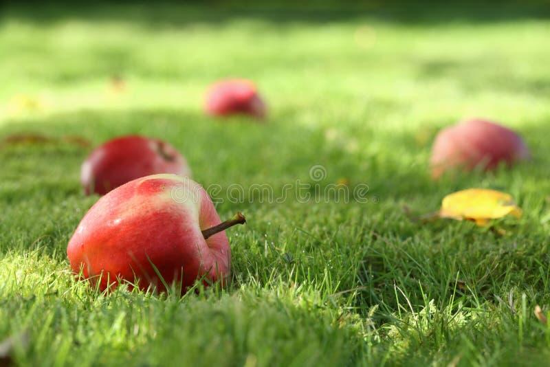 упаденные яблоки стоковые изображения rf
