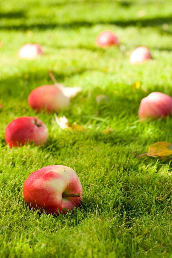 упаденные яблоки стоковое изображение