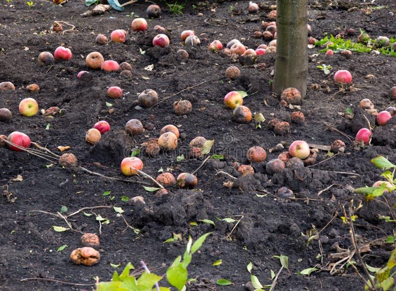 Упаденный, длиной лежащ под яблоней, плоды стоковое изображение