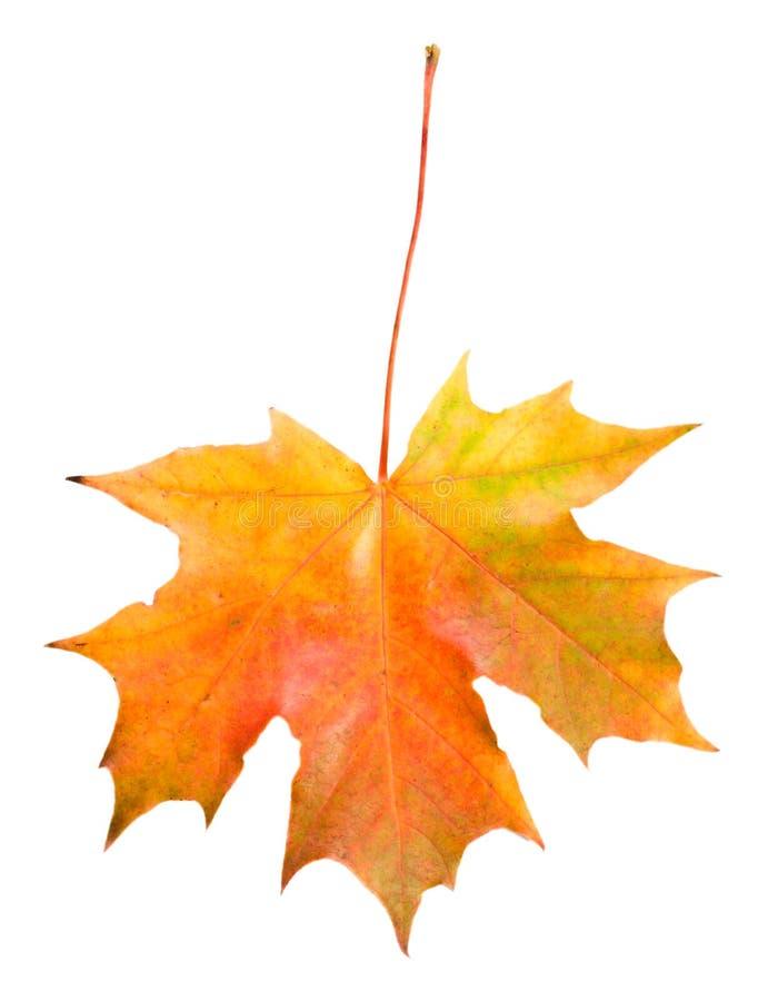 упаденный изолированный клен листьев стоковые фото