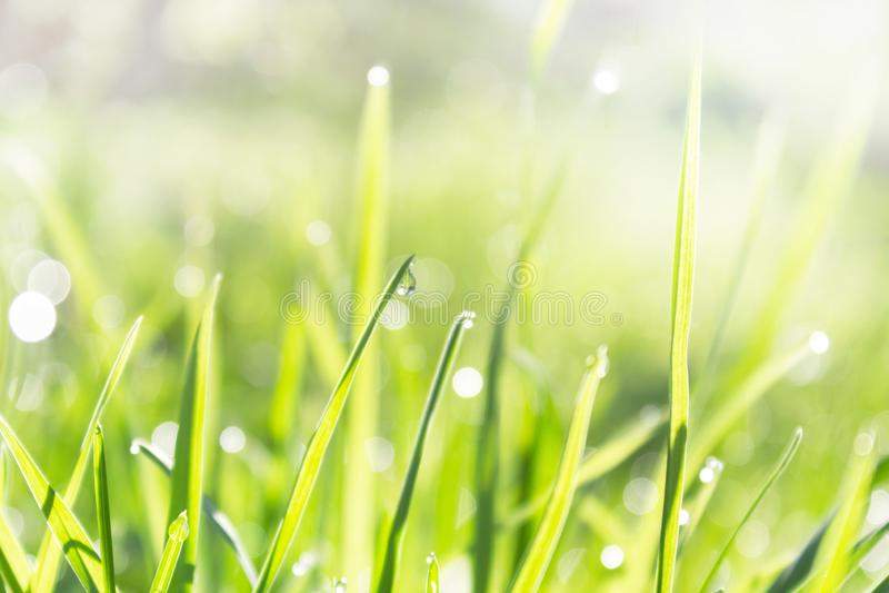 Упадите росы на зеленой травинке, травы весны свежей молодой в росе и сверкните лучей солнца стоковые изображения