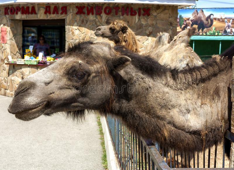 Упакуйте животное, корабль пустыни, верблюда стоковая фотография rf