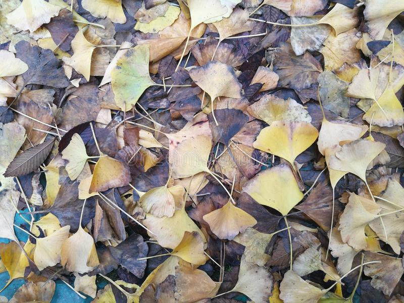 Download Упаденное гинкго выходит заволакивание на влажный пол Стоковое Фото - изображение насчитывающей золотисто, santa: 81810036