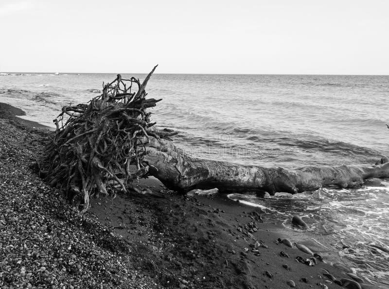 Упаденное дерево с корнями на seashore стоковое фото