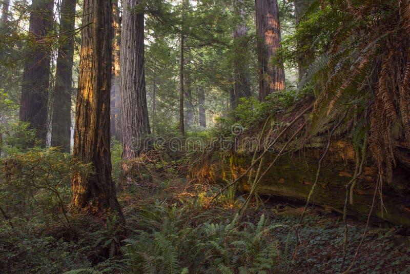 Упаденное дерево redwood, старый лес стоковое изображение