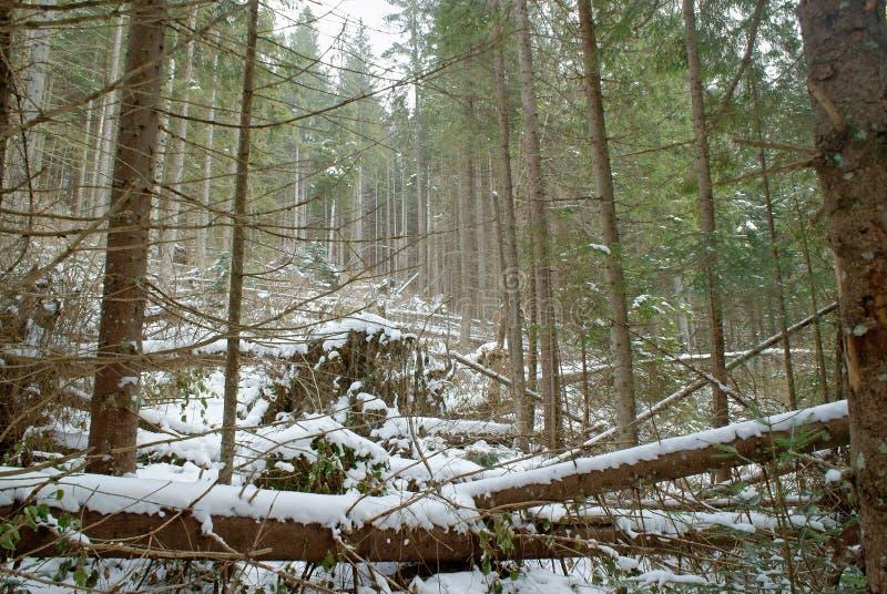 Упаденные деревья в плотном сосновом лесе и покрытый снег в природе зимы одичалой стоковые фото
