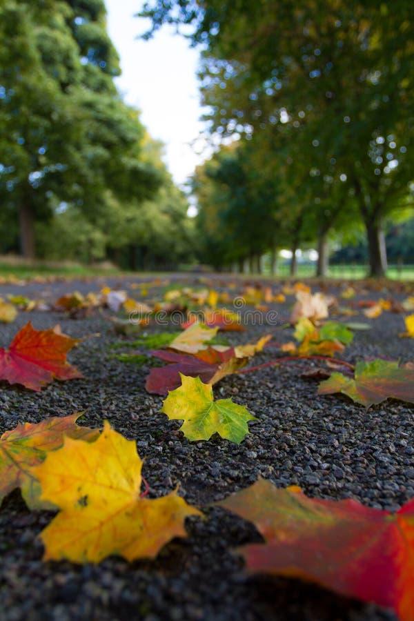 Упаденные листья на тихой майне стоковое фото
