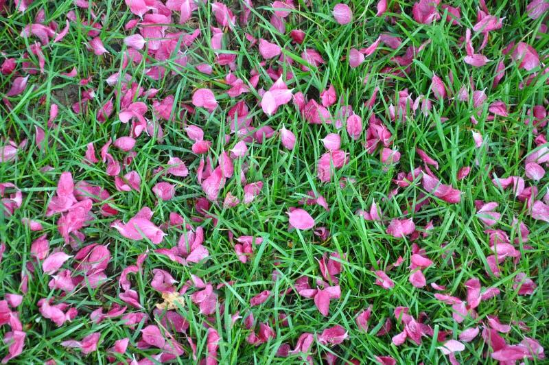 Упаденные розовые лепестки на зеленой траве, цветении весны, капельках воды, дожде стоковая фотография rf