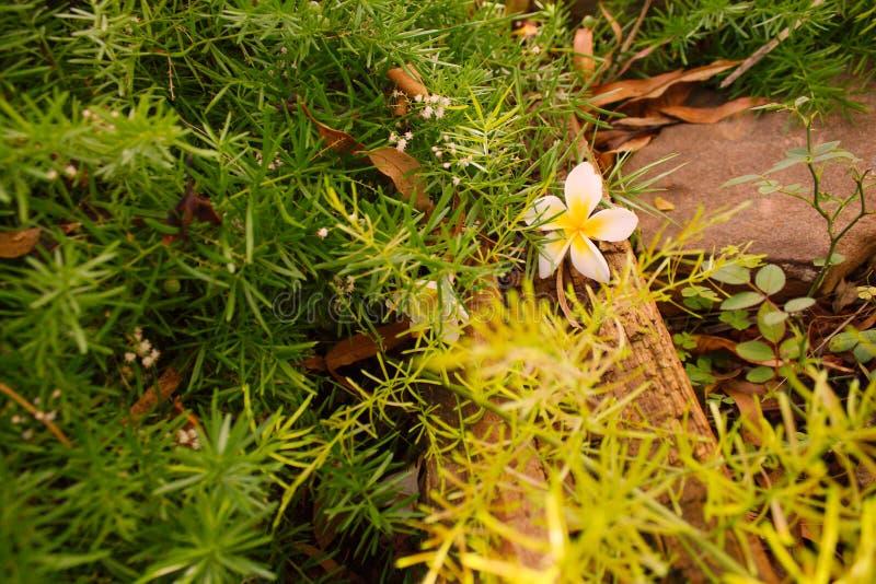 Упаденный цветок Frangipani среди растительности стоковые изображения rf